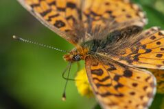 Alpine hairy close-up butterfly with a eye like soccer ball on yellow flower