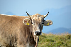 Alpine herd of cows at summer green field. Royalty Free Stock Photography