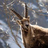 Alpine horned mammal named steinbock or capra ibex in mountain Stock Photography