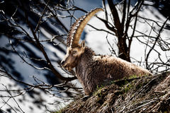 Alpine horned mammal named steinbock or capra ibex in mountain Royalty Free Stock Photography