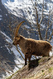 Alpine horned mammal named steinbock or capra ibex in mountain Royalty Free Stock Images