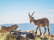 Alpine ibex‬ (Capra pyrenaica) on the summit against blue sky Stock Photo