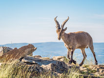 Alpine ibex‬ (Capra pyrenaica) on the summit against blue sky Royalty Free Stock Photos