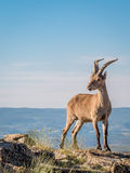 Alpine ibex‬ (Capra pyrenaica) on the summit against blue sky Stock Photography
