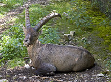 Alpine ibex 1 Royalty Free Stock Image