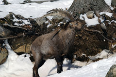 Alpine Ibex. On a cold winter day Stock Images