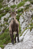 Alpine Ibex Stock Photo
