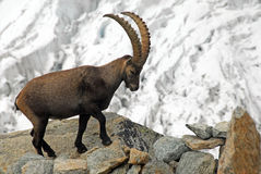 Alpine Ibex. An Ibex taken in front of a glacier near the Grand Mountet Hut in Wallis, Switzerland Stock Images