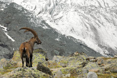 Alpine Ibex. An Ibex taken in front of a glacier near the Grand Mountet Hut in Wallis, Switzerland Royalty Free Stock Image