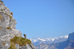Alpine Ibex Royalty Free Stock Photos
