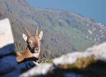 Alpine Ibex Royalty Free Stock Image