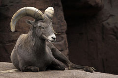 The Alpine ibex Royalty Free Stock Image