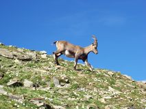 Alpine ibex. Side view of Alpine ibex on rocky hill or mountain with blue sky background Royalty Free Stock Image
