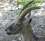 Alpine ibex 3 Royalty Free Stock Images