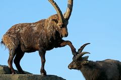 Alpine ibex. With blue background royalty free stock image