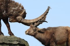 Alpine ibex. With a clear blue sky royalty free stock photography