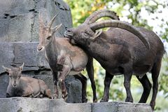 Alpine ibex. Male, female and youngster royalty free stock photo