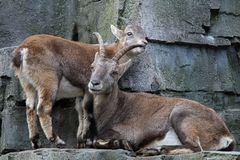 Alpine ibex royalty free stock photo