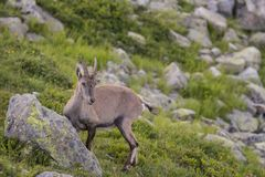 Alpine. The Alpine ibex, also known as the steinbock or bouquetin, is a species of wild goat that lives in the mountains of the European Alps. It is a sexually Royalty Free Stock Photography
