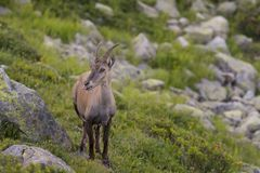 Alpine. The Alpine ibex, also known as the steinbock or bouquetin, is a species of wild goat that lives in the mountains of the European Alps. It is a sexually Royalty Free Stock Photo