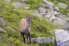 Alpine. The Alpine ibex, also known as the steinbock or bouquetin, is a species of wild goat that lives in the mountains of the European Alps. It is a sexually Stock Images