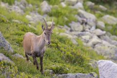 Alpine. The Alpine ibex, also known as the steinbock or bouquetin, is a species of wild goat that lives in the mountains of the European Alps. It is a sexually Stock Photography