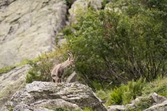Alpine. The Alpine ibex, also known as the steinbock or bouquetin, is a species of wild goat that lives in the mountains of the European Alps. It is a sexually Stock Image