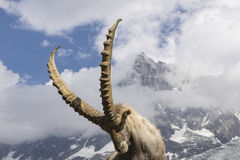 Alpine ibex on a background of Aiguille du Midi. French Alps. Stock Photos