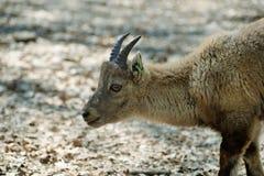 Alpine ibex Royalty Free Stock Images