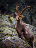 Alpine ibex. The Alpine ibex (Capra ibex), also known as the steinbock or bouquetin, is a species of wild goat that lives in the mountains of the European Alps Royalty Free Stock Photography