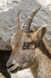 Alpine ibex, capra Ibex. Staring at you Stock Photo