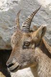Alpine ibex, capra Ibex Stock Photo