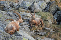 Alpine Ibex - Capra ibex, Alps, Ausitra. Apline Ibexes relaxing in Austian Alps Royalty Free Stock Image