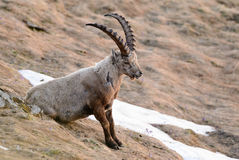 Alpine Ibex - Capra ibex, Alps, Ausitra. Apline Ibex relaxing in Austian Alps Stock Images