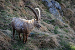Alpine Ibex - Capra ibex, Alps, Austria. Alpine Ibex in Austrian Alps with morning light Royalty Free Stock Photo