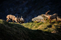 Alpine Ibex - Capra ibex, Alps, Austria. Alpine Ibexes fighting in Austrian Alps Stock Image