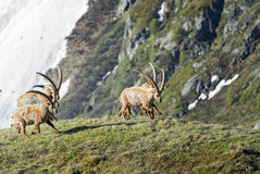 Alpine Ibex - Capra ibex, Alps, Austria. Alpine Ibexes running in Austrian Alps Stock Images