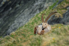 Alpine Ibex - Capra ibex, Alps, Austria. Alpine Ibex relaxing in Austrian Alps Stock Images
