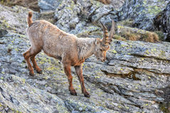Alpine Ibex - Capra ibex, Alps, Austria. Young Alpine Ibex in Austrian Alps stock image