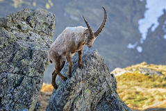 Alpine Ibex - Capra ibex, Alps, Austria. Young Alpine Ibex in Austrian Alps Royalty Free Stock Photos