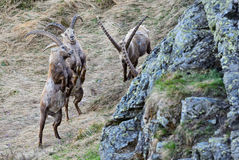Alpine Ibex - Capra ibex, Alps, Austria. Young Alpine Ibexes fighting in Austrian Alps Stock Photo