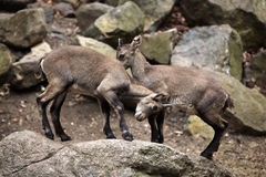 Alpine ibex (Capra ibex). Stock Photos