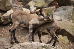 Alpine ibex (Capra ibex). Alpine ibex (Capra ibex), also known as the steinbock or bouquetin. Wild life animal royalty free stock photo