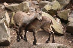 Alpine ibex (Capra ibex). Royalty Free Stock Images