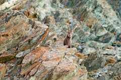 Alpine Ibex, Capra ibex, with autumn orange larch tree in hill background, National Park Gran Paradiso, Italy. Autumn landscape royalty free stock photography