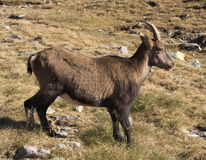 Alpine ibex  (Capra ibex) in autumn. Young Alpine ibex in mountain pasture. Alpine ibex (Lat. Capra ibex) is a wild species of wild goat that lives in the Royalty Free Stock Photos