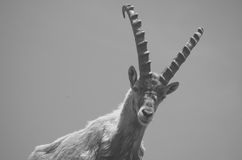 Alpine ibex  (Capra ibex) Stock Photo