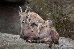 Alpine ibex Capra ibex ibex. Alpine ibex Capra ibex ibex, also known as the steinbock or bouquetin. Ibex kid playing with its mother royalty free stock photography