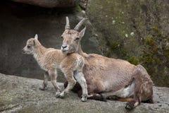 Alpine ibex Capra ibex ibex. Stock Photo