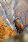 Alpine Ibex, Capra ibex ibex, with autumn orange larch tree in background, horned animal in the rock mountain nature habitat, Nati Stock Images